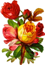 colorful-roses