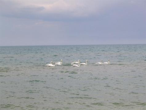 Swans_1024