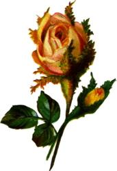 dainty-yellow-rose