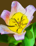 tulip_graphic