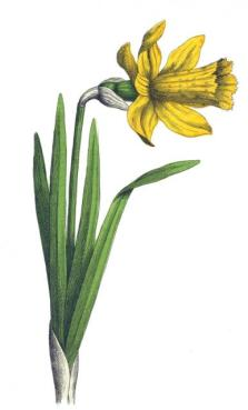 daffodil-yonge