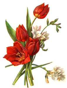tulips-3