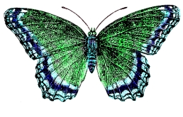blue-green-butterfly