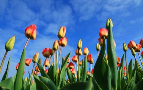 tulip_sky