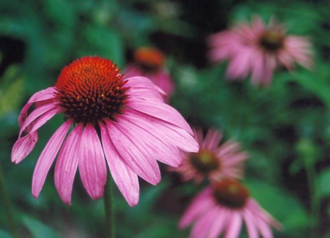 Purple_Cone_flower